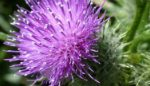 Thistle at Wapley Bushes Nature Reserve