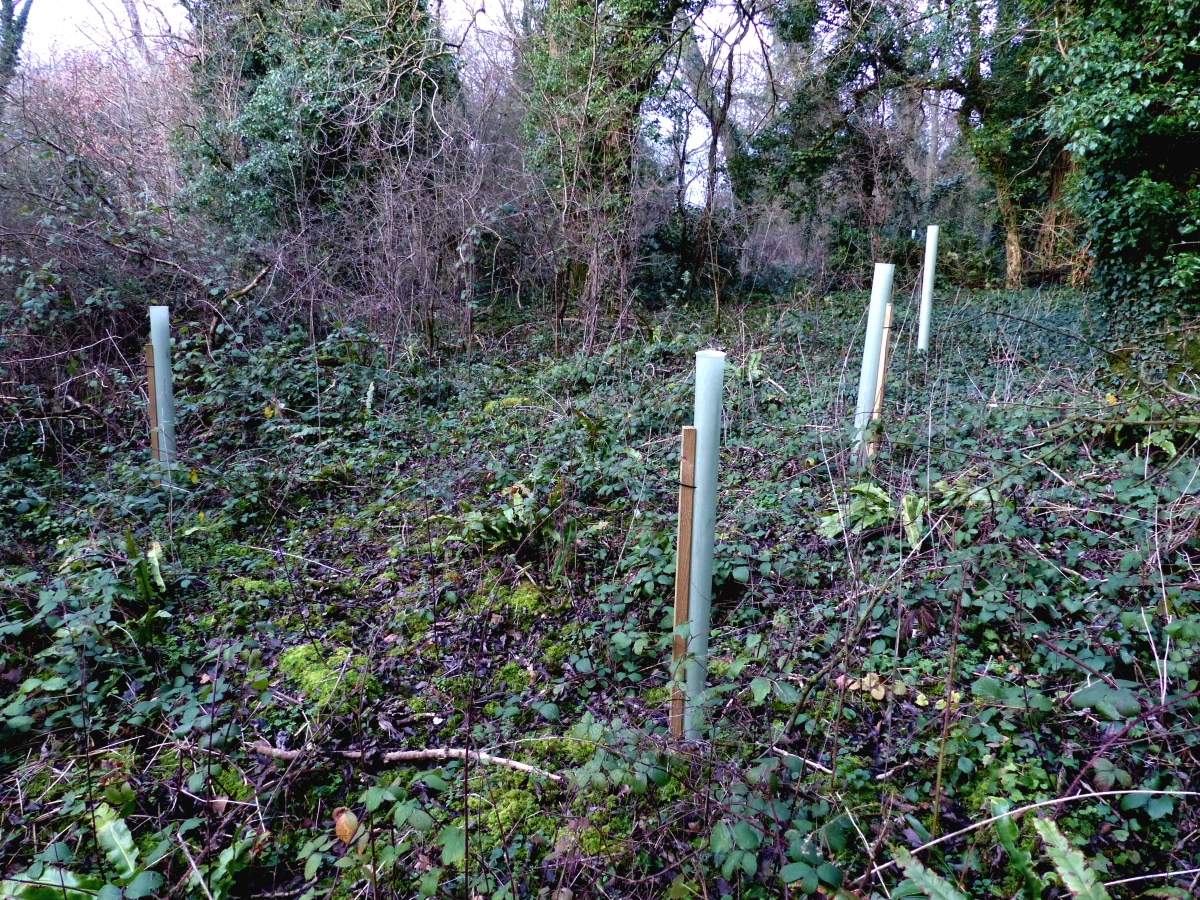 New trees in the Ancient Woodland at Wapley Bushes