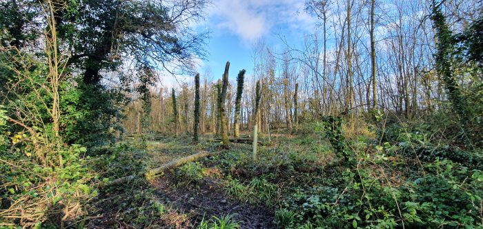 Monolithed ash trees at Wapley Bushes